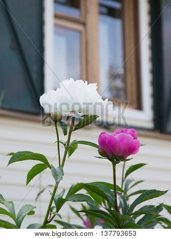 large lush fragrant flowers of bright purple and white ornamental peonies in the garden on a summer morning on the background of windows of the house
