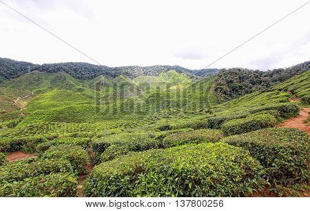Boh Tea Plantation Cameron Highlands Pahang Malaysia