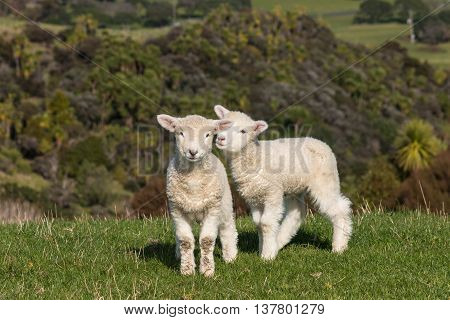 two playful lambs standing on green meadow