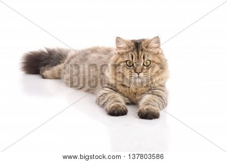 Tabby cat lying and looking on white backgroundisolated