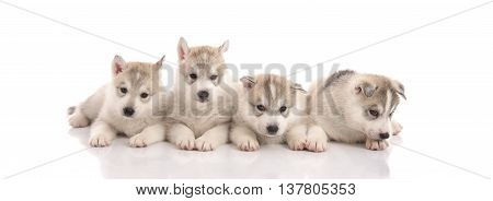 Group of Siberian husky puppies in front of white backgroundisolated