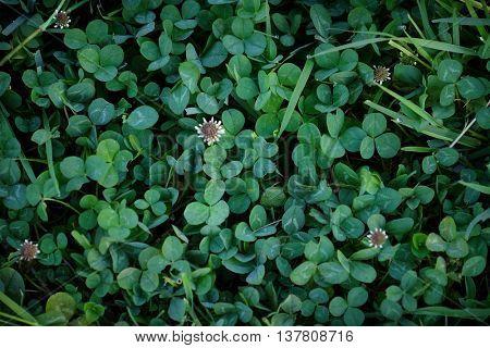 Clover leaves background