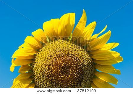 One yellow sunflower and blue sky background