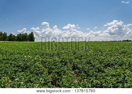 Beautiful rural landscape with bright green field flowering potatoes with white flowers against a blue sky with clouds