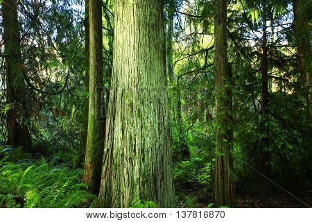 a picture of an exterior Pacific Northwest forest and old growth Western red cedar trees