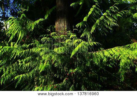 a picture of an exterior Pacific Northwest forest of Western red  cedar trees