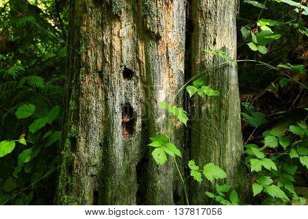a picture of an exterior Pacific Northwest old growth Western red cedar tree trunk
