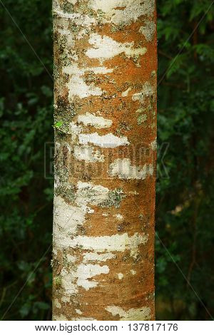 a picture of an exterior Pacific Northwest alder tree trunk in fall