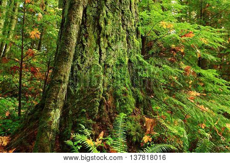 a picture of an exterior Pacific Northwest forest and old growth Douglas fir tree with moss