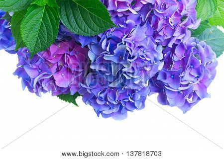 blue and violet hortensia flowers close up isolated on white background