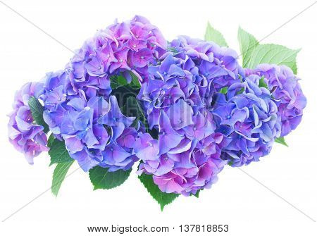 blue and violet hortensia flowers isolated on white background