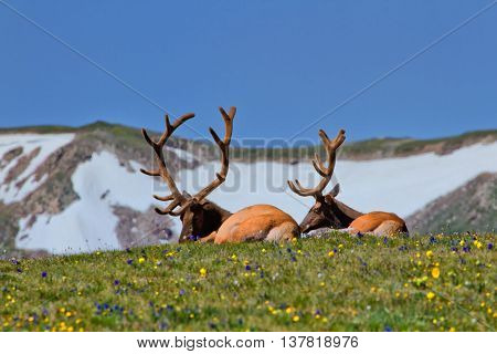 Rocky Mountain Bull Elk enjoying a lazy afternoon in the wildflowers of the Tundra in Rocky Mountain National Park