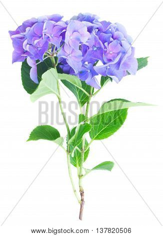twig of blue and violet hortensia flowers isolated on white background