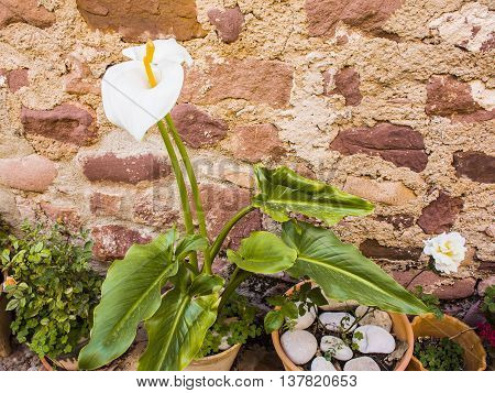 Blooming Calla lilies in the pot on a background of old stone walls. Selective focus image