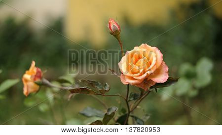 Soft color rose and rosebuds in the garden