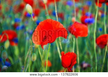 One poppy flower focused in a field with cornflowers and poppies