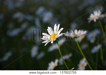 One sunlit daisy in front of blurred daisies