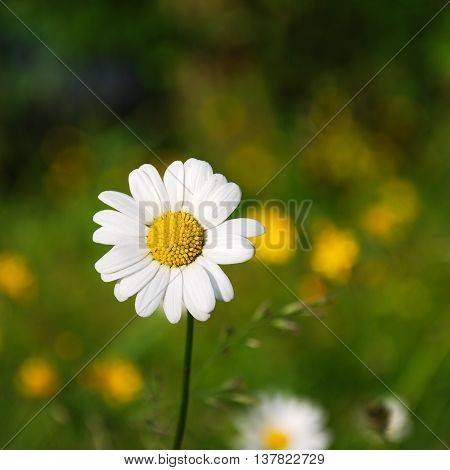 One daisy focused at a natural blurred background