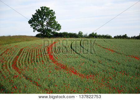 Corn field with blossom poppies in the tractor wheel tracks