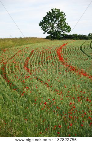 Blossom poppies in the wheel tracks in a corn field