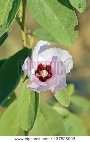 Australian pink Sturts desert rose flower with insect pollinators. Floral emblem of the Northern Teriitory, Australia