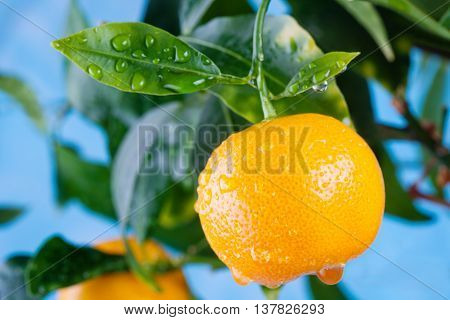 Citrus, orange, mandarin fruits branch in the garden. Summer time photo orange tree. Blue sky background, sunny day. Leaves and fruit with water drops.