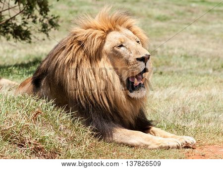 Male lion with magnificent mane basking in the sun