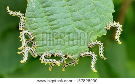 beautiful caterpillars eating a leaf. Close up