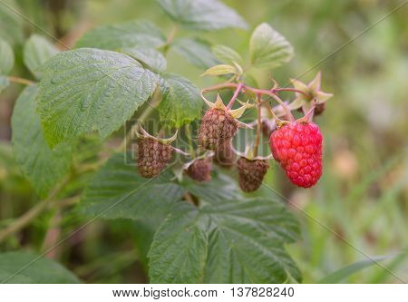 close up of the ripe raspberry. A close up