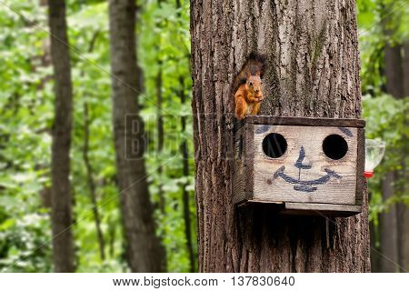 Red squirrel eating nuts on birdhouse. Wooden house with drawn comical funny face. summer forest landscape