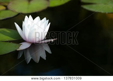 Exotic water lilies in a pond. Blooming white nymphaea waterlily, reflection on dark water