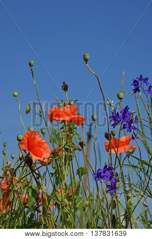 Red Poppy Flowers In Summer Meadow Over Blue Sky