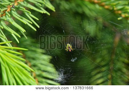 Spider and his prey insect in center of cobweb over green background among pine spruce fir needles damaged web