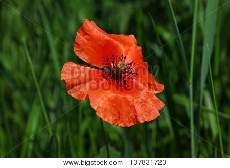 One Red Poppy Flower In Summer Meadow Over Green