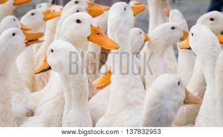 a large group of white farm ducks.
