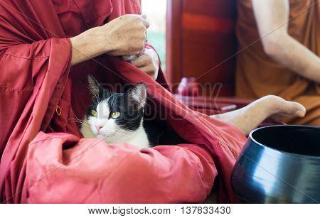 Cat is sleeping on Thai Buddhism monk lap.
