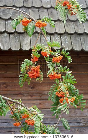 rowan branches with berries on a background of a wooden house