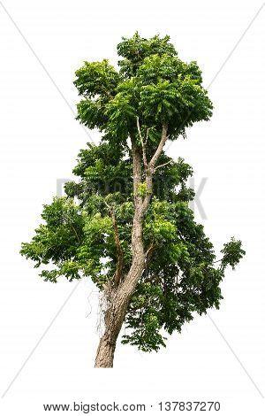 Tree isolated on white background, Asian tree isolated on white