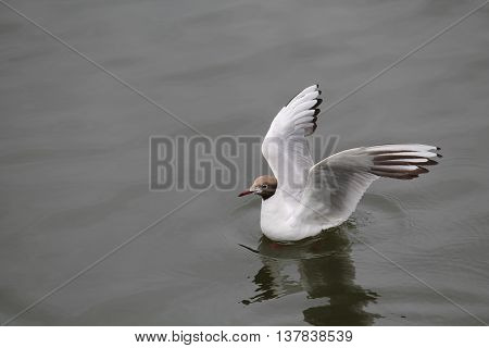 Black-headed gull (Chroicocephalus ridibundus). Wild bird on water