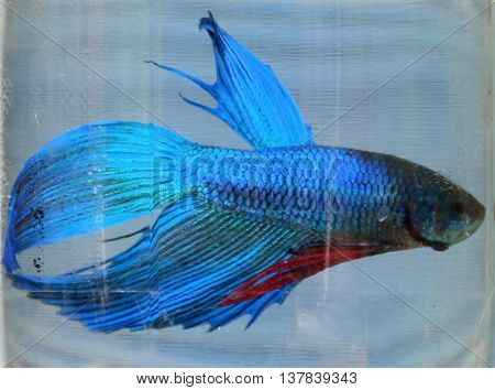 blue and red male Siamese fighting fish in glass jar, Songkhla, Thailand