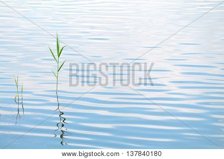 Cane on background of blue water. Blue water background