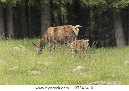 fawn with her mom in the mountain