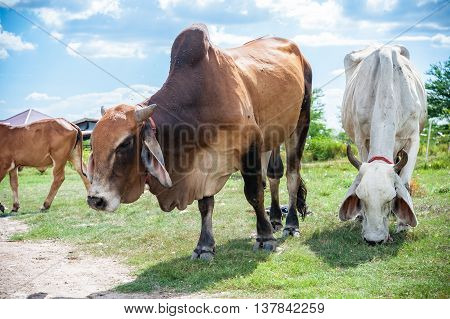 White Thai Cow In Green, Family Cow In Green Field Which Traditional Cow In Urban, Cow In Green Fiel