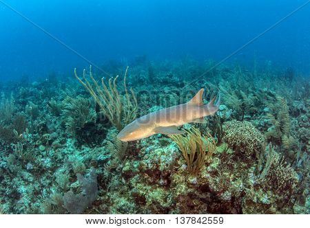 Nurse shark at Ambergris Caye in Belize