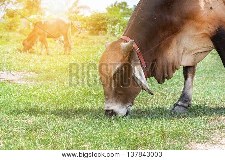 thai cow in green Family Cow in green field which traditional cow in urban Cow in green field on sunset