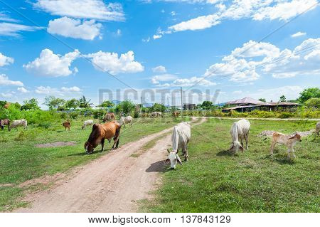 Thai Cow In Green, Family Cow In Green Field Which Traditional Cow In Urban, Cow In Green Field On S