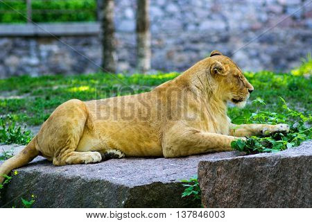 lioness with her eyes closed is resting at the zoo