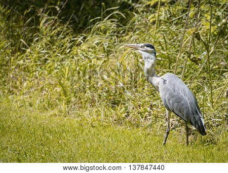 5 Grey Heron set Catching and eating mouse or vole (Ardea cinerea)