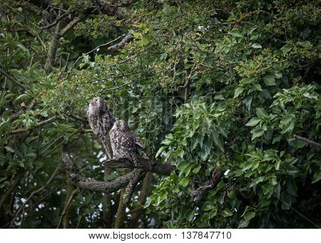 Pair of wild little owls looking up to sky (Athene noctua)