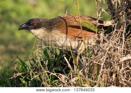Burchell's coucal bird with characteristic red eye and black beak